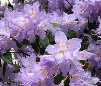 Image of purple rhododendron